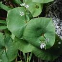 Claytonia parviflora ssp. parviflora