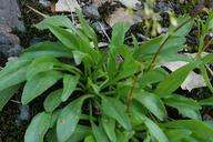Lewisia congdonii