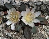 Lewisia kelloggii ssp. kelloggii