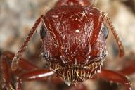 Pogonomyrmex sp.
