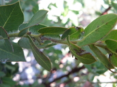 Arctostaphylos refugioensis