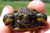 "Juvenile Pond Turtle<br /><strong>Location:</strong> Solano County, California, US<br /><strong>Author:</strong> <a href=""http://calphotos.berkeley.edu/cgi/photographer_query?where-name_full=Bill+Stagnaro&one=T"">Bill Stagnaro</a>"