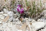 Astragalus newberryi