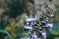 Penstemon acuminatus var. acuminatus