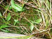 Ophioglossum pusillum