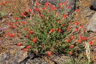 Castilleja applegatei ssp. pinetorum