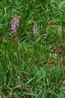 Pedicularis attollens ssp. attollens