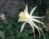 Aquilegia pubescens
