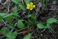 Ranunculus alismifolius var. alismellus