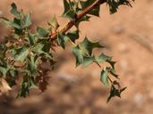 Berberis fremontii