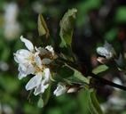 Amelanchier utahensis var. utahensis