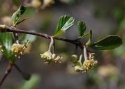 Cercocarpus betuloides var. betuloides