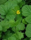 Geum macrophyllum var. perincisum