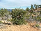 Cercocarpus ledifolius var. intercedens