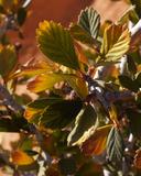 Cercocarpus montanus