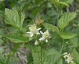 Rubus leucodermis var. leucodermis