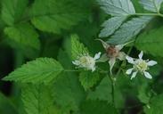 Rubus leucodermis