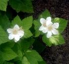 Rubus parviflorus var. parviflorus