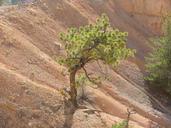 Pinus ponderosa var. scopulorum
