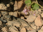 Sceloporus graciosus