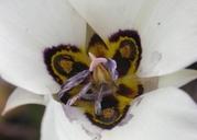 Calochortus bruneaunis