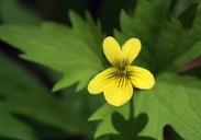Viola sheltonii