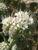 Phacelia imbricata ssp. patula