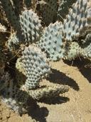 Opuntia basilaris var. treleasei