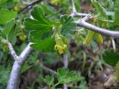 Ribes lasianthum