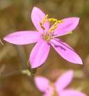 Zeltnera namophila