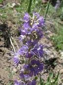 Phacelia sericea var. ciliosa