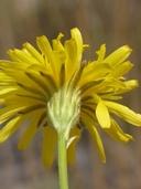 Crepis runcinata ssp. hallii