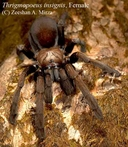 Notable Large Burrowing Spider