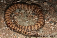 Dajarra Death Adder