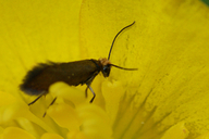 Micropterix calthella