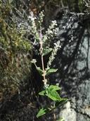 Aloysia wrightii