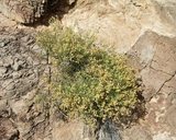 Perityle megalocephala var. oligophylla