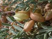 Astragalus nutans