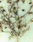 Nemacladus gracilis