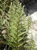 Myriopteris wootonii