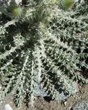 Cirsium occidentale var. venustum