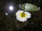 Damasonium californicum