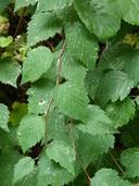 Neviusia cliftonii