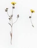 Lagophylla dichotoma