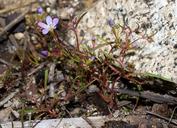 Navarretia leptalea ssp. bicolor
