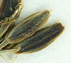Lomatium peckianum