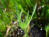 Eryngium aristulatum