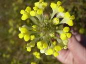 Triphysaria versicolor ssp. faucibarbata