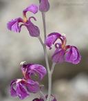 Streptanthus fenestratus