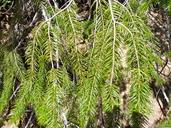 Pseudotsuga macrocarpa